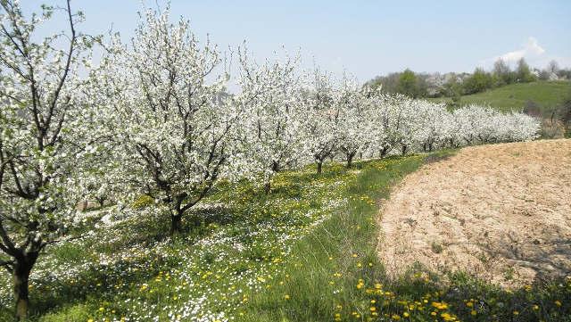Prirodna zaštita voćnjaka: Koje biljke treba da sadite ispod drveća voća? - ©Agromedia