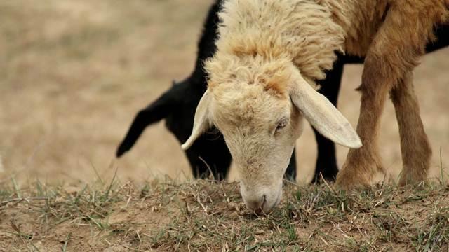 Saveti za početnike: Upoznajte ovce pre nego što počnete da ih gajite - © Agromedia