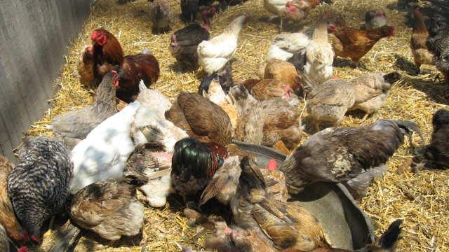 Saveti za početnike: Kako pravilno očistiti i dezinfikovati kokošinjac - ©Agromedia