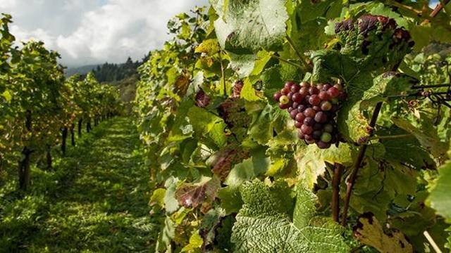 Ne propustite subvencije za podizanje višegodišnjih proizvodnih zasada vinove loze- © Agromedia