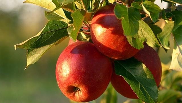 Vreme je za suzbijanje lisnih vaši i pepelnice na jabuci  - © Pixabay