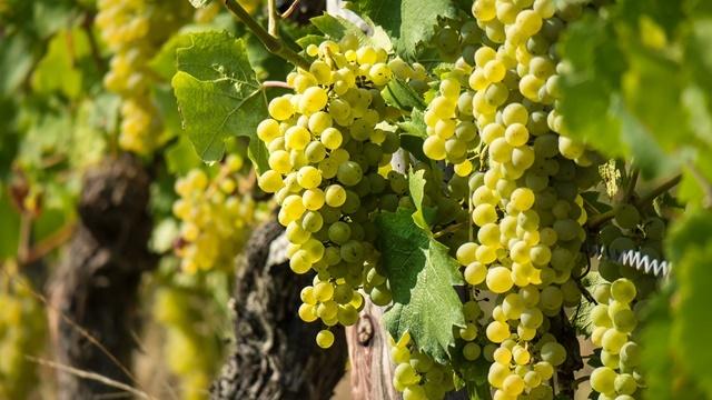 Kako orezati vinovu lozu u leto i zašto je to važno?- © Pixabay