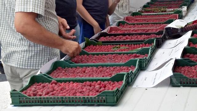 Ponuđena prva cena za otkup maline. Kakva sezona očekuje srpske malinare?- © Agromedia