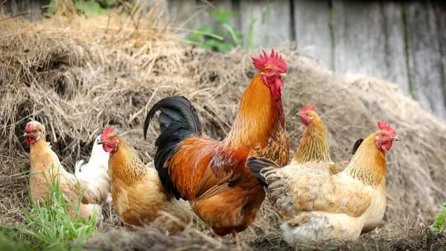 Slobodan uzgoj kokošaka: Tri načina da sačuvate travu u dvorištu © Pixabay