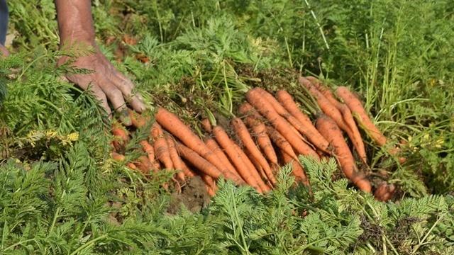 Koliko dugo šargarepa može da ostane u zemlji - ©Agromedia