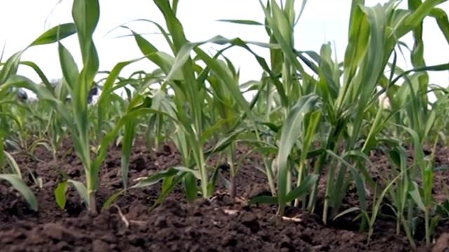 Zaštita useva kukuruza - © Galenika-Fitofarmacija