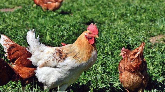 Slobodan uzgoj živine: Šta kokoškama nikako ne smete da dajete tokom leta - © Pixabay
