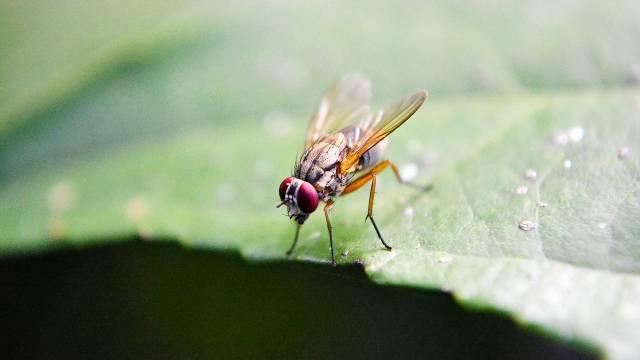 Voćne muve najviše napadaju breskve, kruške, smokve: Evo kako da ih se rešite bez insekticida - © Pixabay