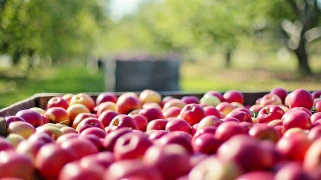 Primenite ovo rešenje i nećete se mučiti sa skladišnim bolestima jabuke - ©Galenika-Fitofarmacija