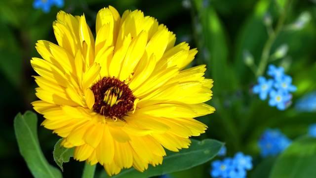 Snažni neven: Poželjan stanovnik bašte, ali i gost na našoj trpezi  - © Pixabay