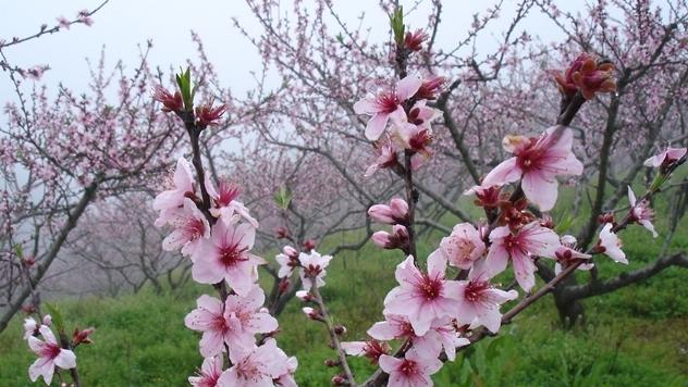 Breskva u cvetu - © Pixabay