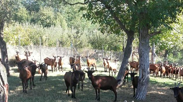 Alpske koze sa Dejanove farme © Foto: Danijela Jovanović
