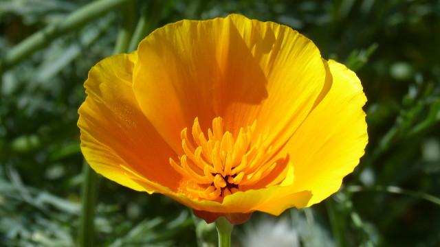 Samoniklo cveće: Cvetna bašta bez puno muke- © Pixabay