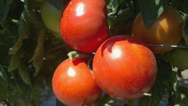 Plodovi hibrida Red Machine F1 - © Holland Angro