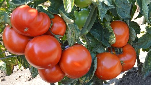 Hibrid paradajza Red Machine F1 - © Holland Angro