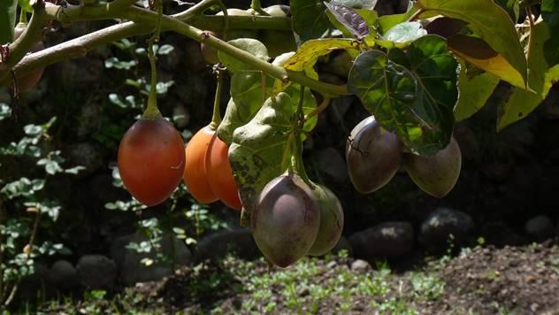 Paradajz drvo ili tamarilo ukusnog narandžastog ploda