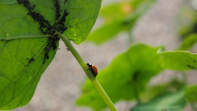 Lisne vaši uništavaju gotovo sve biljke: Rešite ih se na prirodan i efikasan način- © Pixabay