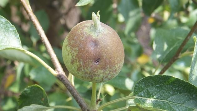 Krastavost ploda jabuke, Venturia