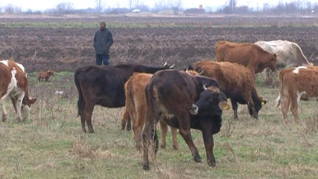 Autohtone rase goveda ©AGROmedia