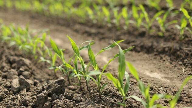 Adengo herbicid koji suzbija divlji sirak - © Bayer Crop Science