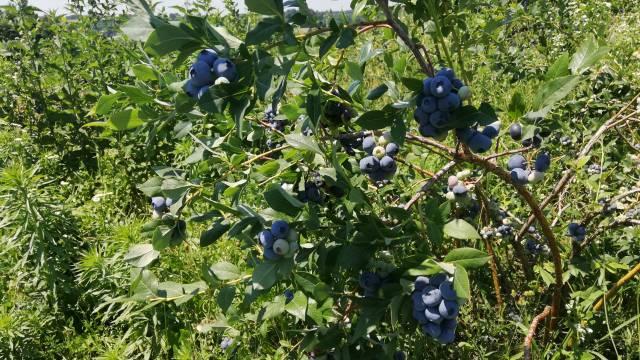 Da li je isplativo gajiti mali zasad borovnice?- © Dejan D. Agromedia