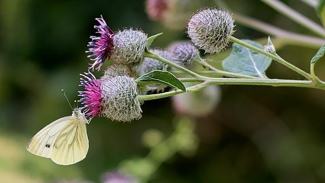 Čičak nije nepoželjan korov, on je hrana i lek - © Pixabay
