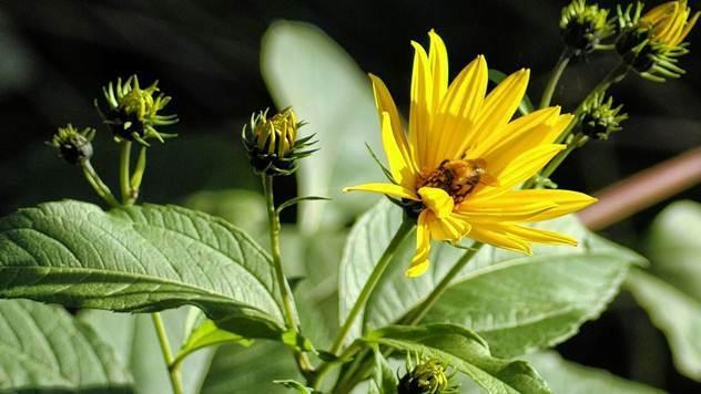 Da li ste znali da je čičoka veoma lekovita biljka - © Pixabay