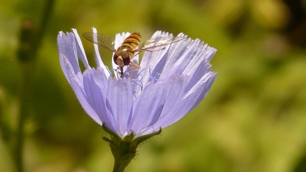 Cikorija u prirodi - © Pixabay