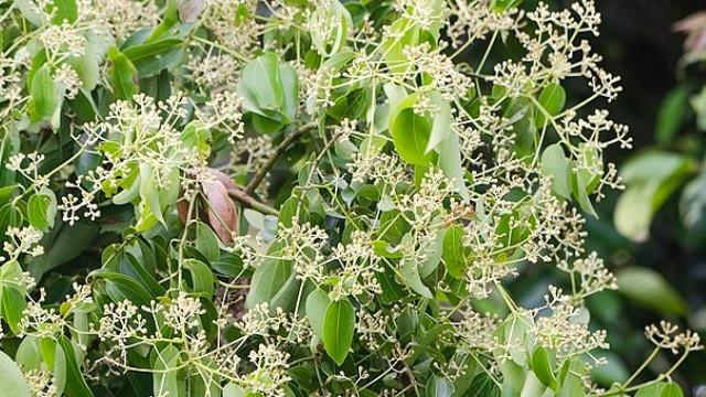 Kako se gaji cimet: Biljka koja donosi zdravlje i aromu- © Pixabay