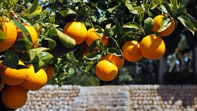 Gajenje citrusa - © Pixabay