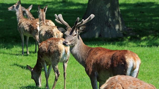 Grla crvenog jelena - © Pixabay