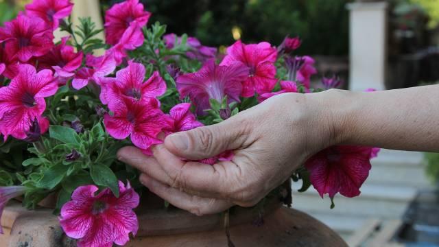 Saveti za početnike: Radite ovo redovno i cveće će duže da vam cveta - © Pixabay