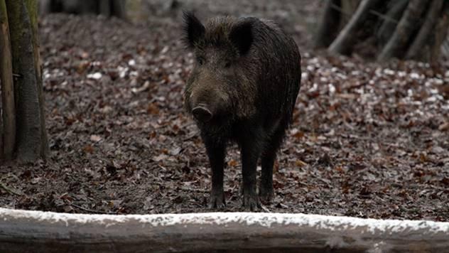 Divlja svinja - © Pixabay