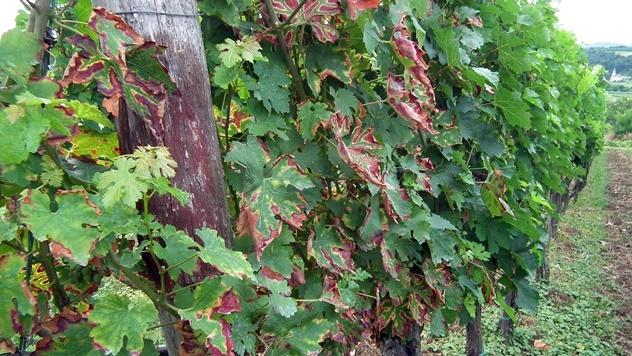 Fitoplazma vinove loze - © Agromedia