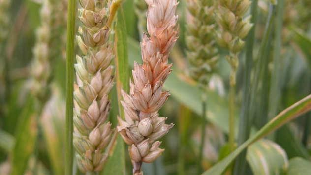 Fuzarioza pšenice - ©Pixabay