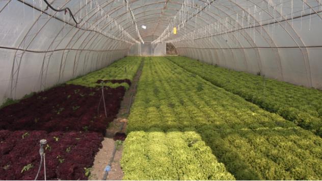 Plastenik sa zelenom salatom © Agromedia