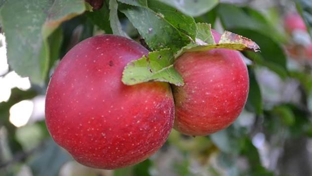 Evo kako se postiže primamljivo crvena boja jabuke - © Pixabay
