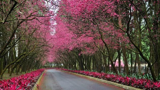 Japanska trešnja - © Pixabay