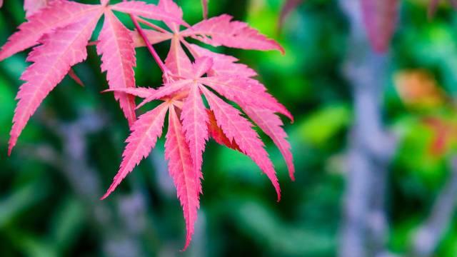 Japanski javor: Neprevaziđeni ukras vrta- © Pixabay