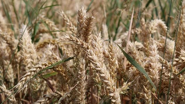 Snage i slabosti jesenjih stočnih žitarica - © Pixabay