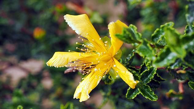 Kantarion ima lekovita svojstva i lak je za gajenje - © Pixabay