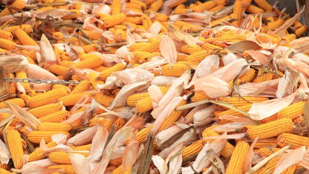 Klipovi kukuruza - © Foto: Agromedia