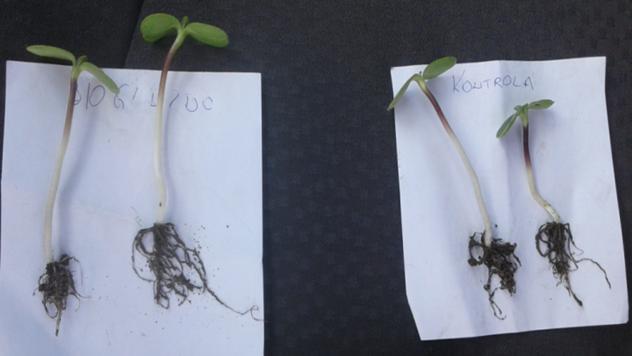 Seme tretirano BioGnezdom - © Biofor System