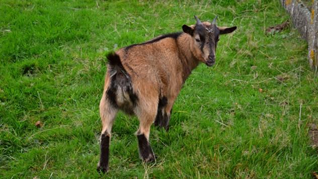 Gajenje koza može biti vrlo unosno - ©Agromedia