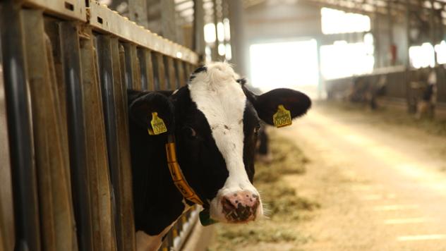 Krava - © Foto: Agromedia