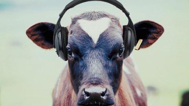 krava sluša muziku