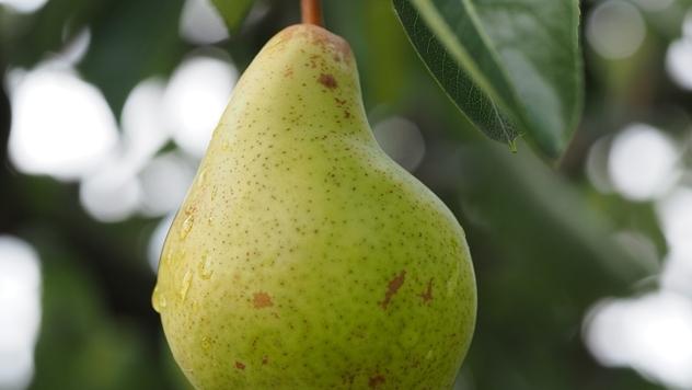 Plod kruške - © Pixabay