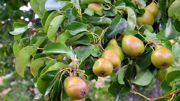 Abate fetel je standardna italijanska sorta koja poslednjih ostavaruje najveću cenu na tržištu - © Pixabay