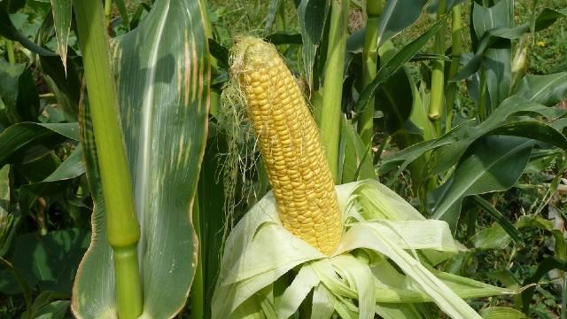 Kuvani kukuruz iz bašte: Kako uspešno da gajite kukuruz šećerac - © Pixabay