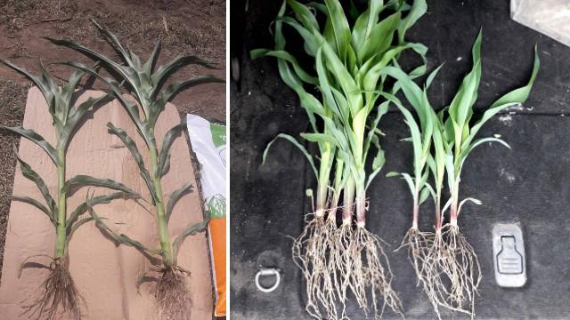 Folijarna prihrana kukuruza: Slavol i Amiksol jačaju biljke i osiguravaju veći prinos  - © Agrounik